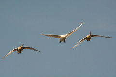 Trumpeter Swans. Coming in for a landing Royalty Free Stock Photos