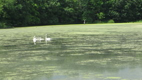 Trumpeter Swans with Cygnets. A family of Trumpeter Swans swims on a pond stock footage