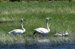 Trumpeter Swans and Cygnets  in a Marsh  2. This is a Summer picture in which two adult Trumpeter Swans and the cygnets are in a Marsh in the Necedah National royalty free stock image