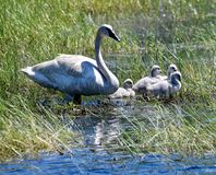 Trumpeter Swans and Cygnets  in a Marsh  1. This is a Summer picture in which two adult Trumpeter Swans and the cygnets are in a Marsh in the Necedah National stock photography