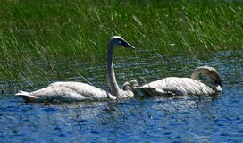 Trumpeter Swans and Cygnets  in a Marsh  3. This is a Summer picture in which two adult Trumpeter Swans and the cygnets are in a Marsh in the Necedah National stock photo