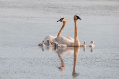 Trumpeter Swans. And cygnets swimming in the marsh royalty free stock images