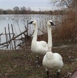 Trumpeter swans, cygnus buccinater Stock Photos