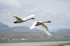 Trumpeter Swans (Cygnus buccinator) Stock Photos