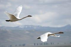 Trumpeter Swans (Cygnus buccinator) Stock Image