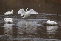 Trumpeter Swans - Cygnus buccinator Royalty Free Stock Photo