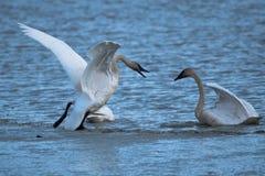 Trumpeter swans Cygnus buccinator fighting royalty free stock photos