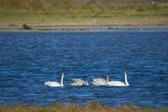 Trumpeter Swans (Cygnus buccinator) Swimming. Trumpeter Swans (Cygnus buccinator) swim along the Harrison River in BC, Canada Stock Photography