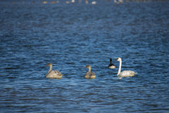 Trumpeter Swans (Cygnus buccinator) Swimming. Trumpeter Swans (Cygnus buccinator) swim along the Harrison River in BC, Canada Royalty Free Stock Photo