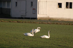 Trumpeter Swans in a farm field Royalty Free Stock Image