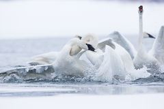 Trumpeter swans fighting Stock Photography