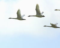 Trumpeter Swans in flight. Trumpeter swans flying in formation near Sandy chute slough by the MIssissippi river at Winfield, Missouri Royalty Free Stock Image