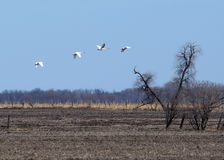Trumpeter swans in flight. Royalty Free Stock Photo