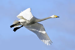 Trumpeter Swans Flying Royalty Free Stock Photography