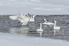 Trumpeter Swans. Group of Adult Trumpeter Swans In River With Snowy Banks Royalty Free Stock Photos