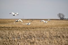 Trumpeter Swans taking off Royalty Free Stock Photos