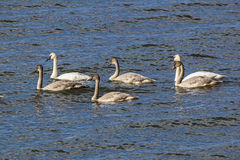 Trumpeter Swans and juvenile Stock Photo