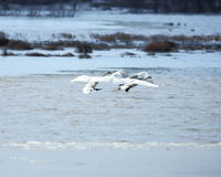 Trumpeter Swans landing. On flooded fields at Riverlands National Wildlife area in St. Charles county, Missouri, near the Mississipi river Stock Image