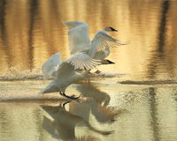 Trumpeter Swans landing. On Sandy chute slough by the MIssissippi river at Winfield, Missouri Royalty Free Stock Image