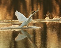 Trumpeter Swans landing. On Sandy chute slough by the MIssissippi river at Winfield, Missouri Stock Photos