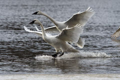 Trumpeter Swans Landing. Trumpeter Swan Pair landing in unison on water Stock Photo
