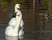 Trumpeter Swans Royalty Free Stock Images