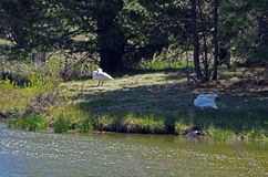 Trumpeter Swans. A nesting pair of trumpeter swans near the Deschutes River in Oregon Stock Photos