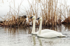 Trumpeter Swans. Pair of Adult Trummpeter Swans Swimming in River With Reeds and Snowy Bank in Background Royalty Free Stock Image