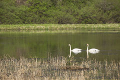 Trumpeter Swans Stock Photography
