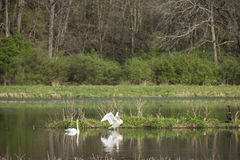 Trumpeter Swans. A pair of Trumpeter Swans in a reflective pond Royalty Free Stock Photo