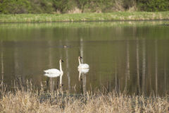Trumpeter Swans. A pair of Trumpeter Swans in a reflective pond Royalty Free Stock Photos