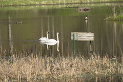 Trumpeter Swans. A pair of Trumpeter Swans in a reflective pond Stock Photography