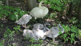 Trumpeter Swans Preening. One adult and five young trumpeter swans preening themselves stock video footage