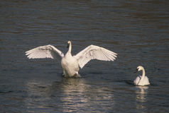 Trumpeter Swans On River Stock Image