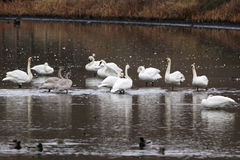 Trumpeter Swans in Shallow Water Royalty Free Stock Photography