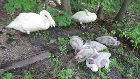 Trumpeter Swans Sleeping stock video