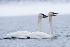 Trumpeter swans sounding off Stock Photos