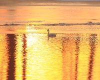Trumpeter Swans at Sunset. Trumpeter swans swimming in the open water at Sandy chute slough by the MIssissippi river at Winfield, Missouri Royalty Free Stock Image
