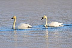 Trumpeter Swans Stock Image