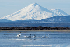 Trumpeter swans swimming in front of Mt. Shasta Royalty Free Stock Photography