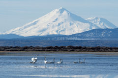 Trumpeter swans swimming in front of Mt. Shasta Stock Photos