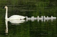 Free Trumpeter Swans Swimming Single File In Pond Stock Image - 122768991