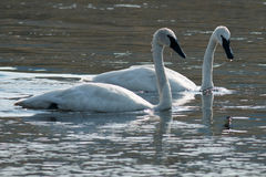 Trumpeter swans swimming. Wyoming, Yellowstone National Park Royalty Free Stock Photography