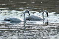 Trumpeter swans swimming. Wyoming, Yellowstone National Park Royalty Free Stock Images