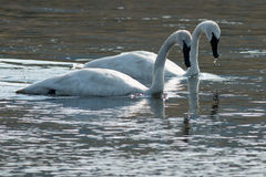 Trumpeter swans swimming. Wyoming, Yellowstone National Park Stock Photography