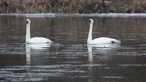 Trumpeter swans in-sync