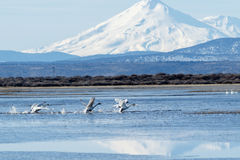 Trumpeter swans taking off in front of Mt. Shasta Royalty Free Stock Photos