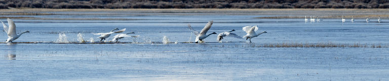 Trumpeter swans taking off from water Royalty Free Stock Photos