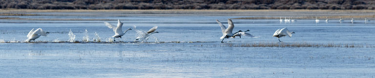 Trumpeter swans taking off from water Stock Photos