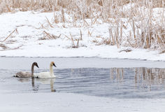 Trumpeter Swans. Two trumpeter swans in a creek Royalty Free Stock Photos